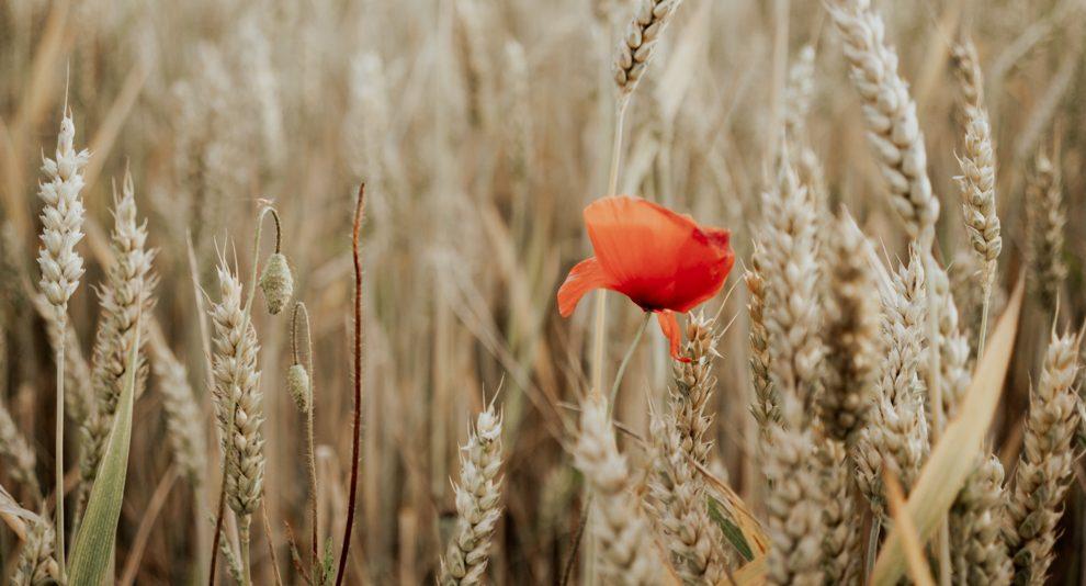 was bleibt. Blume auf dem Feld